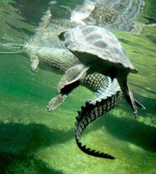 De cocodrilos y tortugas.....